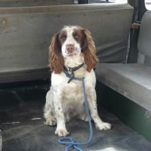 Our dog Springer Spaniel Lola sits in the back of the land rover 107 just like the gun dogs would have done when on the grouse shoot with Lord Savile